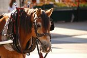foto of blinders  - brown horse with blinders on and a collar for a cart - JPG