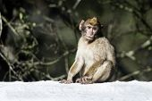 image of gibraltar  - Barbary macaque in Gibraltar the only place in Europe to live in freedom - JPG