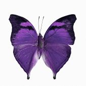 pic of butterfly  - Purple butterfly Autumn Leaf butterfly Nymphalid butterfly  - JPG