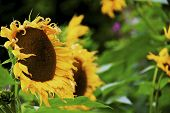 image of frazzled  - The sunflowers are starting to fade away in the foreseeable Autumn chill - JPG