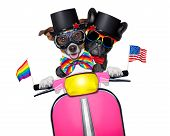 image of gay wedding  - couple of just married gay same sex dogs driving a motorbike just after the wedding isolated on white background on a gay pride parade - JPG