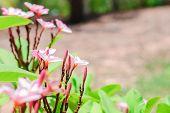pic of tropical plants  - flowers of Plumeria - JPG