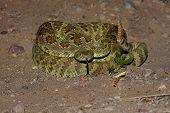 Mojave Rattlesnake - Crotalus Scutulatus poster