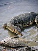 pic of lizard skin  - Water monitor lizard in the lake (varanus, animal, lizard)