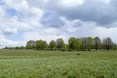 picture of daffodils  - landscape picture of a daffodils glade before the storm in Harghita County Transylvania Romania - JPG