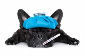 picture of packing  - french bulldog dog very sick with ice pack or bag on head eyes closed and suffering thermometer in mouth isolated on white background - JPG
