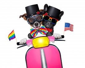 image of gay pride  - couple of just married gay same sex dogs driving a motorbike just after the wedding isolated on white background on a gay pride parade - JPG
