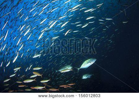 Trevallies hunting Sardines fish underwater in ocean