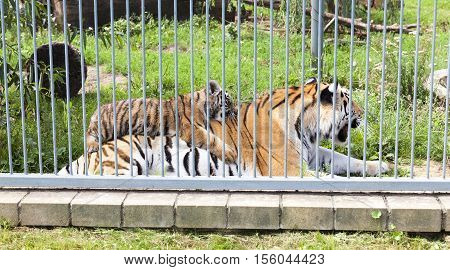 Tigress and playing a little tiger, cub, living in a zoo