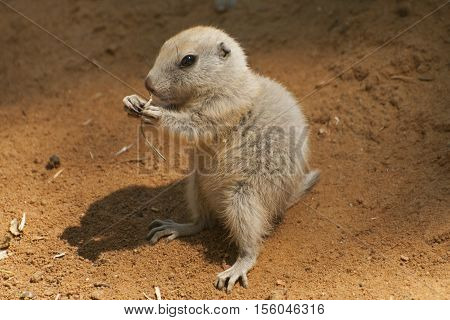 it is imag eof young black-tailed prairie dog.