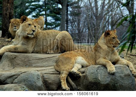 Three lions, male and female, resting on large rocks, watching  everything around them.