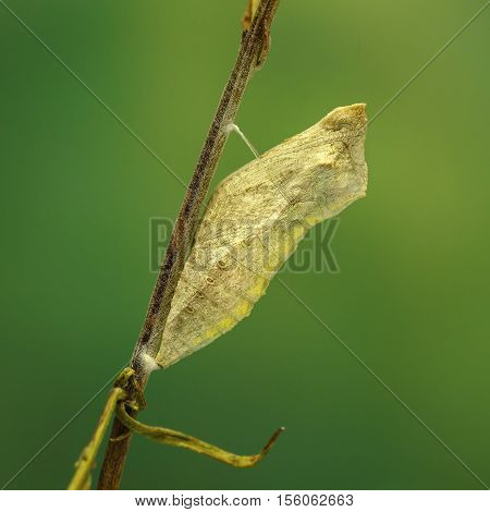 Closeup cocoon of butterfly (Papilio machaon) on twig on green background. square composition.