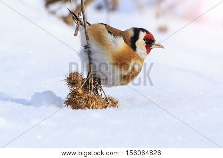 Goldfinch sitting on a burdock lowered him to the ground with sunny hotspot, birds winter survival