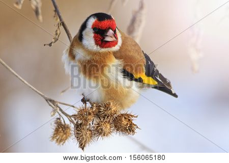 Goldfinch sitting on a burdock in winter sunny day with sunny hotspot, colored bird in the snow