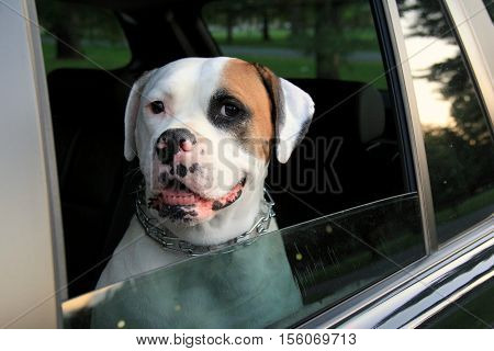 Adorable image of American Bull Dog, sitting pretty in the open  window of car.