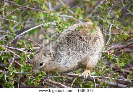 Squirrel In A Bush