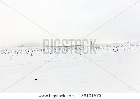 farm field photographed in winter, covered with snow from under the visible remnants of the maize plants after harvest, blue sky in the background
