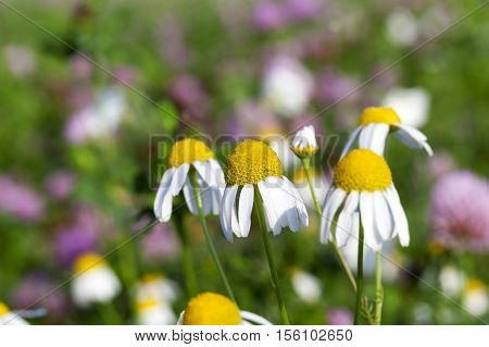 photographed close-up wild chamomile with white petals,