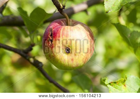 photographed close-up of apples growing on the trees in the orchard. The summer season, a small depth of field