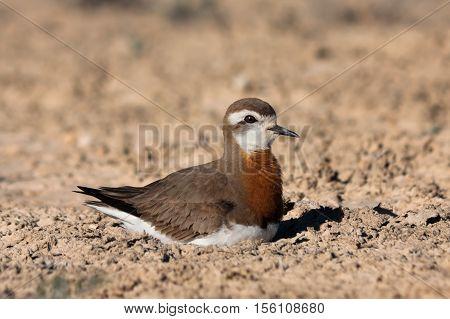 Male of Caspian plover (Charadrius asiaticus) sitting on the nest in desert near Caspian see Kazakhstan