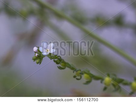 Small bluish wildflowers Myosotis in evening light, common name