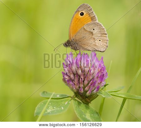 Meadow Brown (Maniola jurtina) butterfly extracting nectar from Red Clover (Trifolium pratense)