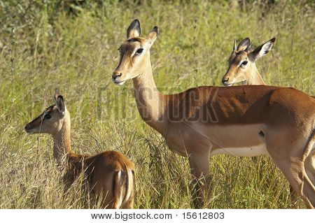 Impala Family In The Wilds Of Africa