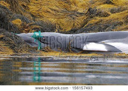 Deceased whale with a green fishing net tangled around his mouth.