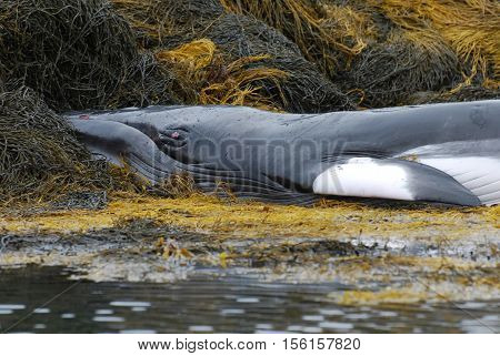 Minke whale up close deceased on a seaweed reef.