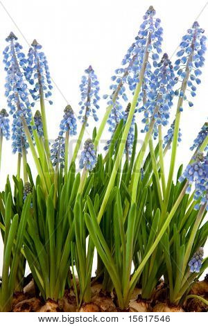 Little blue grape hyacinths with flower bulbs