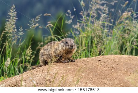 baby marmot stands on the ground in alpine meadow Trentino Italy