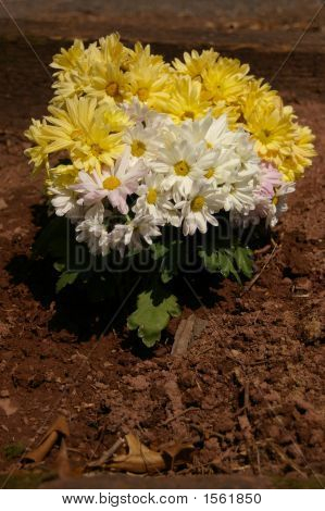 Chrysanthemums Are Mums