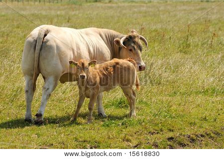 White meat cow with little calf