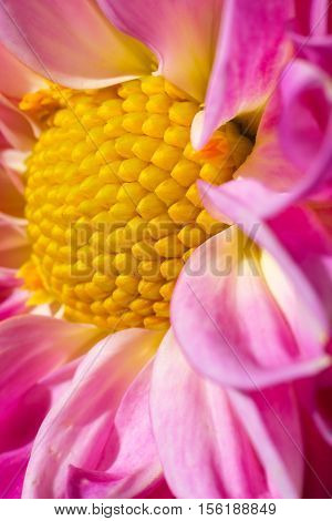 A closeup macro of a pink and yellow flower showing the golden ratio spiral. Crook Hall garden, Durham city UK