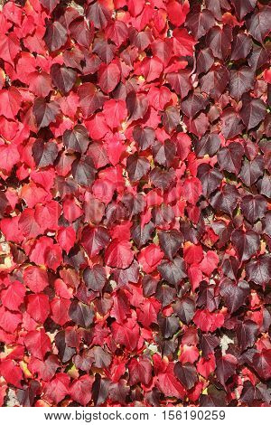 Virginia Creeper background in red full autumn colour growing on garden wall