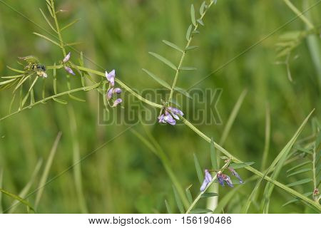 Slender Tare or Vetch - Vicia parviflora syn. V. laxiflora & V. tenuissima