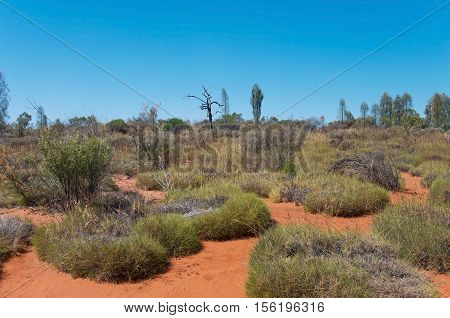 landscape of desert oak trees or allocasuarina decaisneana and brush of the austrailian outback in red center of northern territory