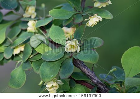 barberry branch with a yellow flower closeup