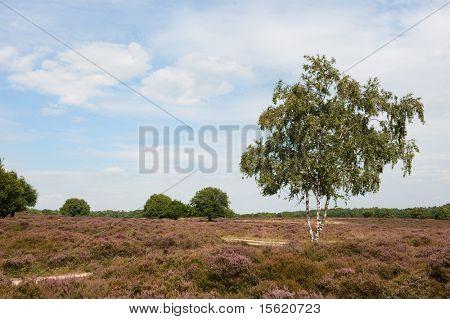 Birch in landscape with purple heath fields
