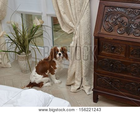 Lovely dog Cavalier King Charles Spaniel by a window with elegant curtain