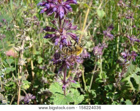 Salvia officinalis is a large genus of perennial herbaceous plants and shrubs