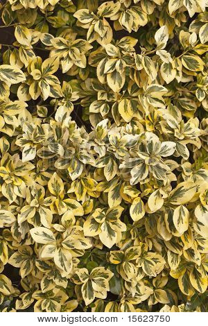 Golden Privet