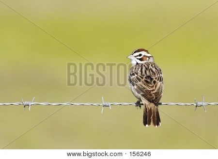 Lark Sparrow On Barbed Wire