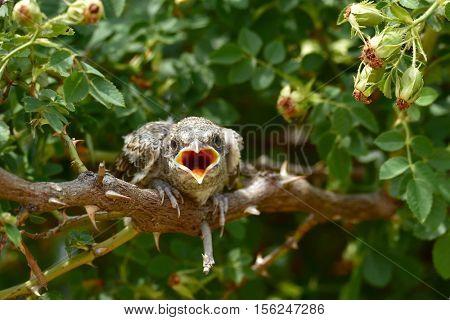 The woodchat shrike (Lanius senator) in natural habitat - juvenile