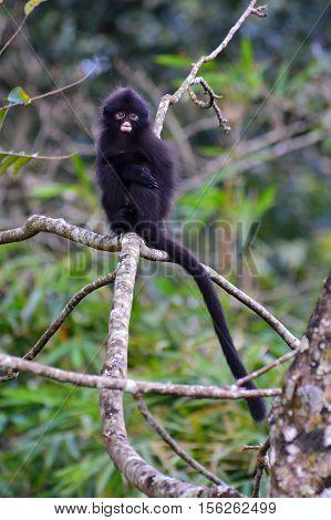 Baby of Bande langur (Presbytis femoralis) standing on the tree in at Kaeng Krachan National Park Thailand.