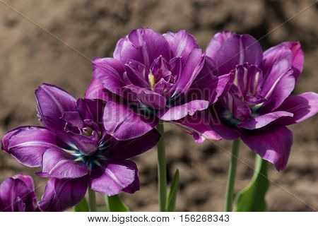 Terry purple tulips. Tulips in the spring.