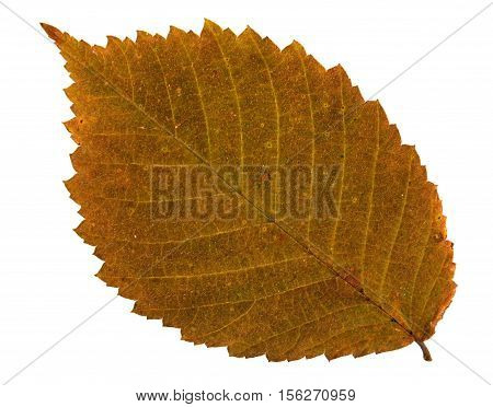 Pressed and dried leaf of Field Elm (Ulmus minor) on white background for use in scrapbooking floristry (oshibana) or herbarium.