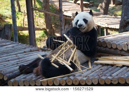 CHIANG MAI, THAILAND - JANUARY 16, 2014: Male giant panda (bamboo bear) Chuang breakfast. Zoo of the city of Chiang Mai