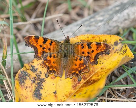 Comma (Polygonia c-album), butterfly, closeup nature photo