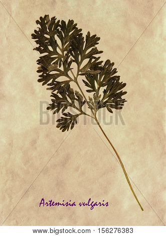 Herbarium from pressed and dried leaves of common wormwood on antique brown craft paper with Latin subscript Artemisia vulgaris.
